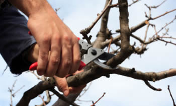 Tree Pruning in Las Vegas NV Tree Pruning Services in Las Vegas NV Quality Tree Pruning in Las Vegas NV